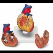 Anatominiai modeliai